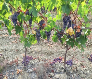 THINNING OF THE GRAPES